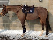All Rounder horse - 5 yrs 0.0 hh Bay - Kent