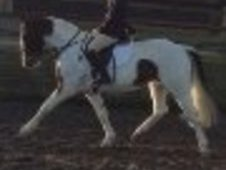 14. 2hh 5 year old mare
