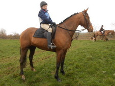 16. 1 hh 7 year old Bay Mare All-Rounder