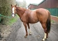 All Rounder horse - 3 yrs 11 mths 15.0 hh Chestnut - East Sussex