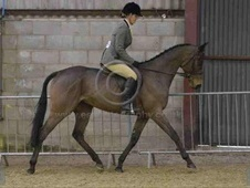 Showing horse - 4 yrs 2 mths 16.1 hh Bay - West Sussex