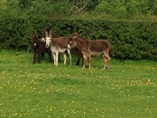 Small Beautiful Jenny Donkeys