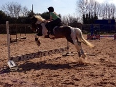 Pony Club Ponies horse - 14 yrs 13.2 hh Skewbald - Nottinghamshire