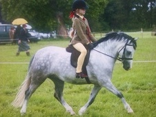 Mountain & Moorland horse - 6 yrs 12.0 hh Dapple Grey - Wiltshire
