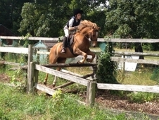 Super Smart, Fun 12. 2 Allrounder Welsh Sec B Chestnut Gelding