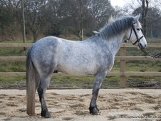 Pony Club Ponies horse - 4 yrs 11 mths 13.2 hh Dapple Grey - Dorset