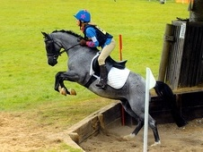 Handsome 12. 2hh Blue Roan For Sale
