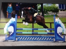 ✨ Stunning 14'2 Welsh section D gelding✨