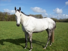 Genuine Grey Tb Mare - Regrettable Sale