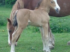 Welsh Section D foals
