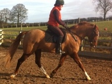 All Rounder horse - 4 yrs 4 mths 15.1 hh Chestnut - Shropshire