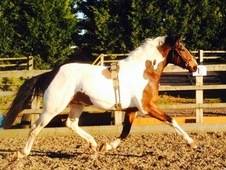 Seriously smart coloured gelding that is not to be missed! ! !
