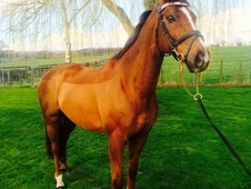Handsome gelding not to be missed