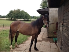 Reg Welsh Section D Filly 2 Yr Old