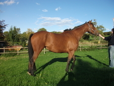 For Sale / Loan ***reduced*** Irish Sports Horse