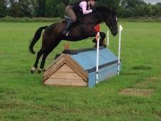 14. 3hh 5yrs Black Gelding Morgan X Cob