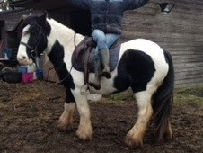 14. 3hh Piebald Mare Rising 5 yrs old