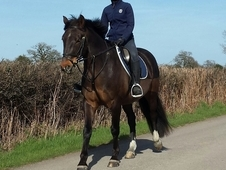15. 2hh, Bay Irish Gelding, 10 yrs