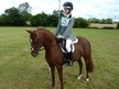 All Rounder horse - 13 yrs 13.1 hh Chestnut - Clwyd