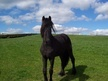 Young Stock  horse - 1 yr 11 mths 12.0 hh Black - South Yorkshire