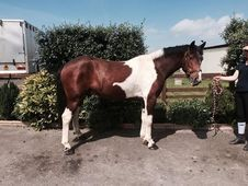Fred - Fabulous Allrounder 15. 2hh Cob !