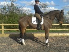 Dressage horse - 6 yrs 16.3 hh Bay - Lincolnshire