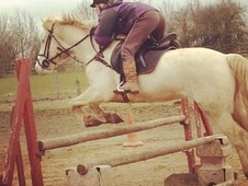 All Rounder horse - 8 yrs 14.2 hh Cremello - Berkshire