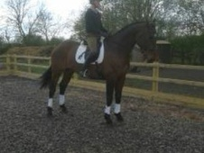 All Rounder horse - 7 yrs 17.0 hh Bay - Lincolnshire