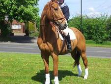 Reduced!! Handsome 16. 2hh Gelding.
