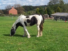 Cobs horse - 2 yrs 12.0 hh Piebald - South Yorkshire