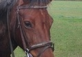 All Rounder horse - 16 yrs 14.0 hh Strawberry Roan - West Midlands