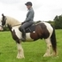 15hh Striking Irish piebald 5yo gelding