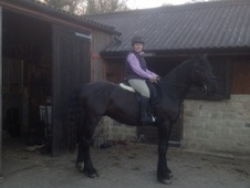 All Rounder horse - 2 yrs 8 mths 15.3 hh Dark Brown - North Yorks...