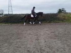 Stunning 16hh Oldenburg Mare