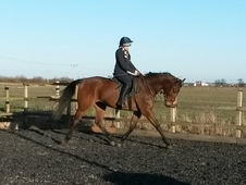 Talented young horse! 17hh 5yrs tb gelding Potential *eventer