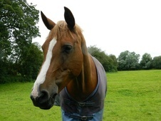 All Rounder horse - 11 yrs 15.3 hh Chestnut - Cambridgeshire