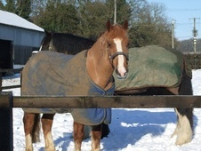 Sharer required to ride 14'3 Welsh Cob in Peterborough Area - Cam...