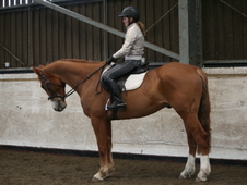 Fabulous 16. 2hh all rounder