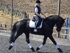 Dressage horse - 6 yrs 16.3 hh Black - Lancashire