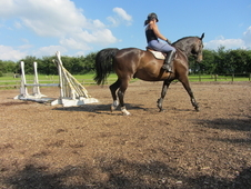 Stunning Potential All-rounder, 16hh, 6 Years