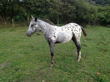 Gorgeous appaloosa filly