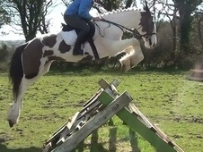 Riding Club Horses/Ponies horse - 5 yrs 15.3 hh Skewbald - Dorset