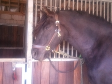 7 year old Fresian mare