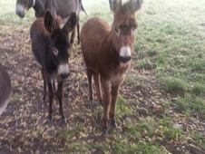 Donkeys For Sale