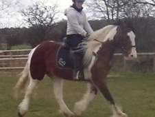 All Rounder horse - 4 yrs 14.1 hh Skewbald - Staffordshire