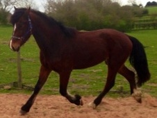 Young Stock  horse - 2 yrs 8 mths 15.2 hh Bay - Nottinghamshire
