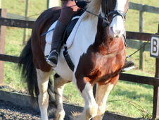 Lovely 15. 2hh Skewbald Gelding
