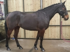 Hunting Mare All Rounder
