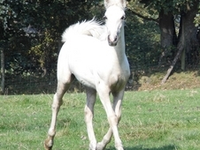Palomino Welsh Sec D Filly