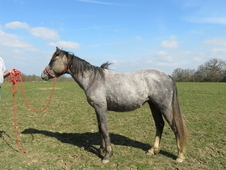 friendly unbroken arab appaloosa cross
